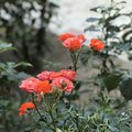 Розы очень красивые ????????????